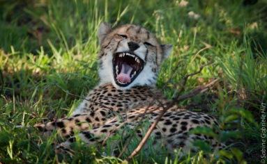 cheetah (1 of 19)