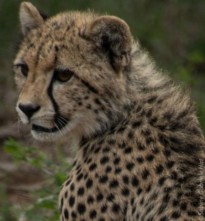 cheetah (10 of 19)