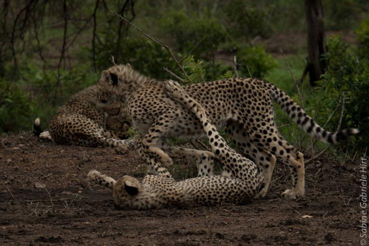 cheetah (11 of 19)