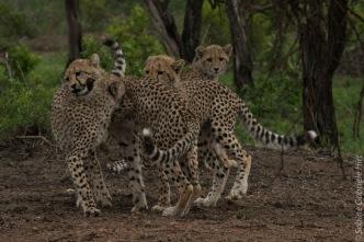 cheetah (12 of 19)