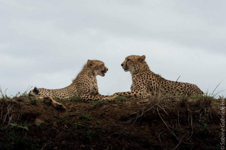 cheetah (13 of 19)