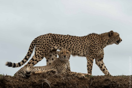 cheetah (15 of 19)