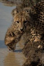 cheetah (16 of 19)
