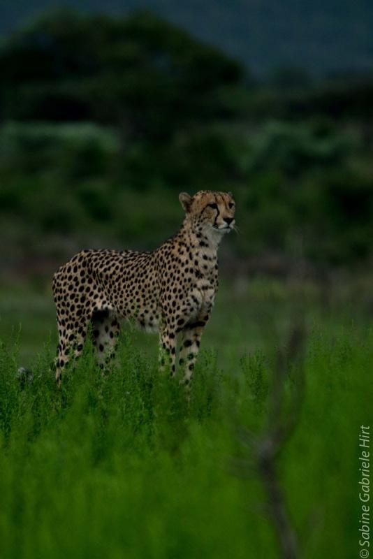 cheetah (17 of 19)