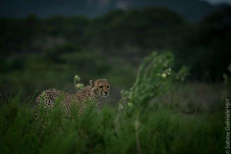 cheetah (18 of 19)