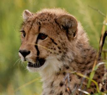 cheetah (2 of 19)