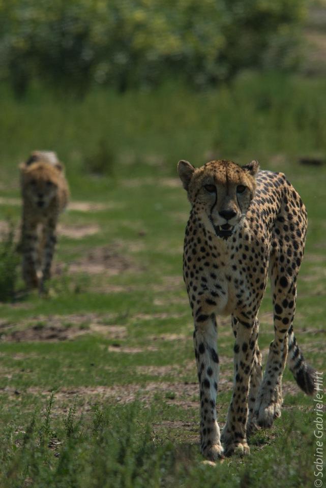 cheetah (5 of 19)