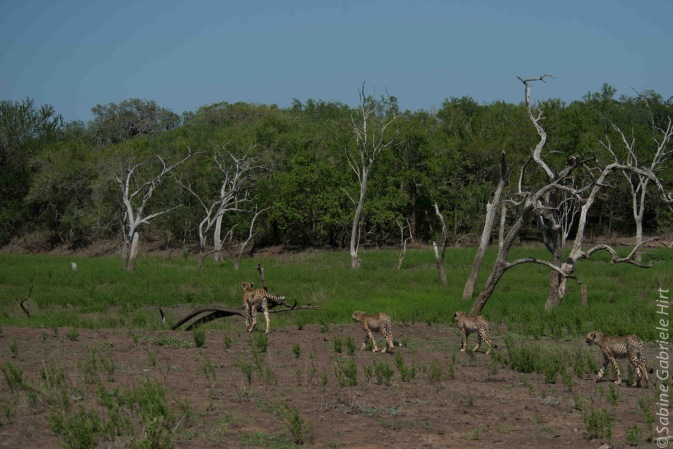 cheetah (6 of 19)