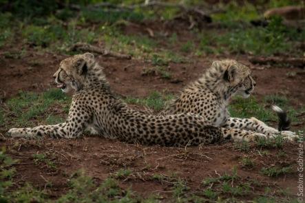 cheetah (7 of 19)