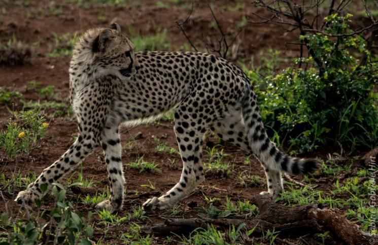 cheetah (8 of 19)