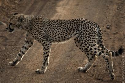 cheetah (9 of 19)