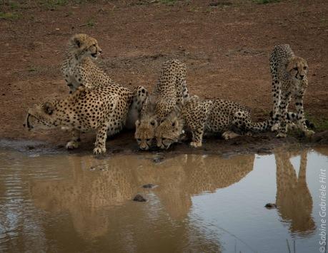 cheetahs (1 of 1)