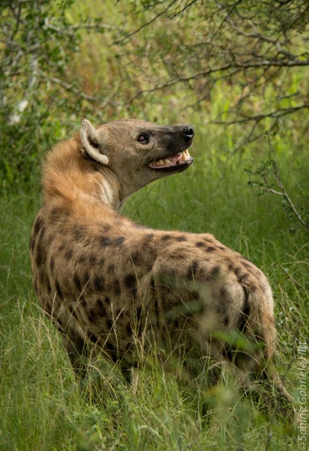 hyena (1 of 10)