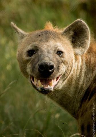 hyena (2 of 10)