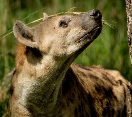 hyena (3 of 10)