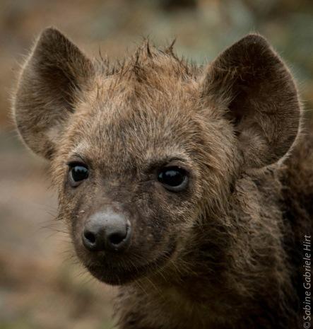 hyena (7 of 10)