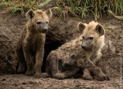 hyena (8 of 10)