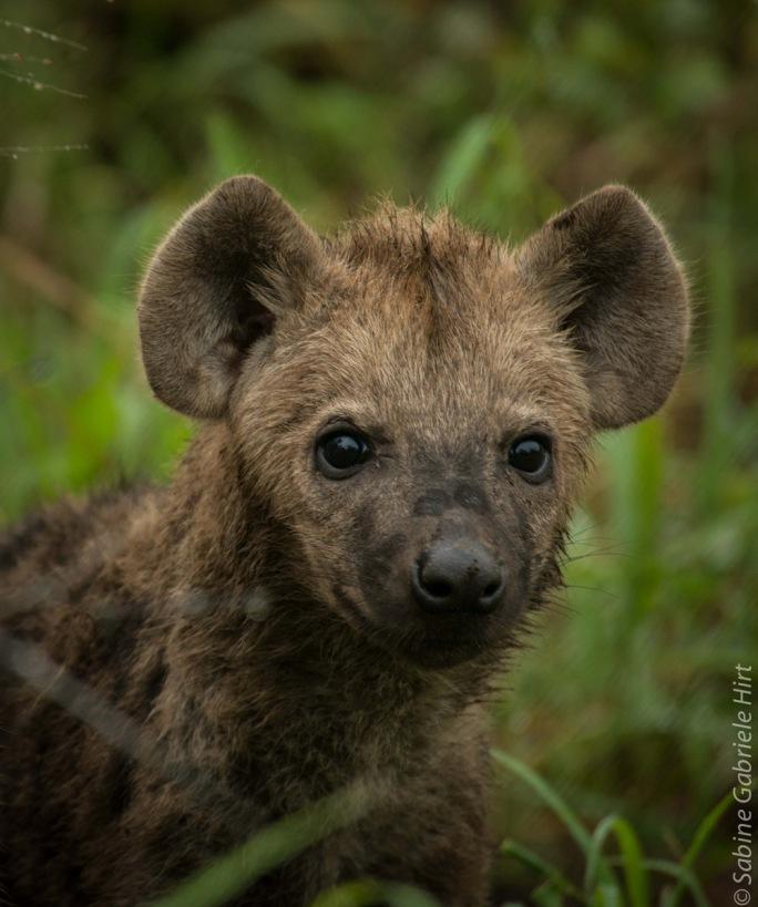 hyena (9 of 10)