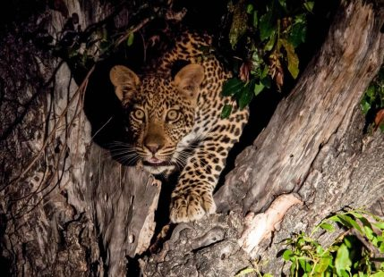 -> Lots of Spots (Leopards, Cheetahs, Hyenas)