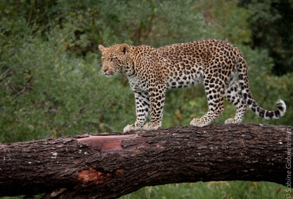 leopard (16 of 33)