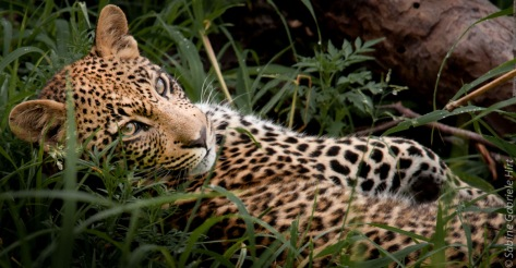 leopard (18 of 33)