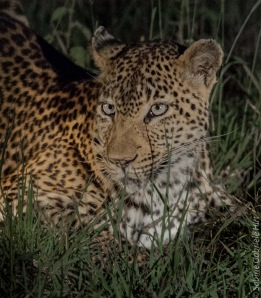 leopard (2 of 33)