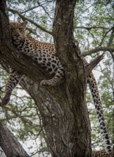 leopard (20 of 33)