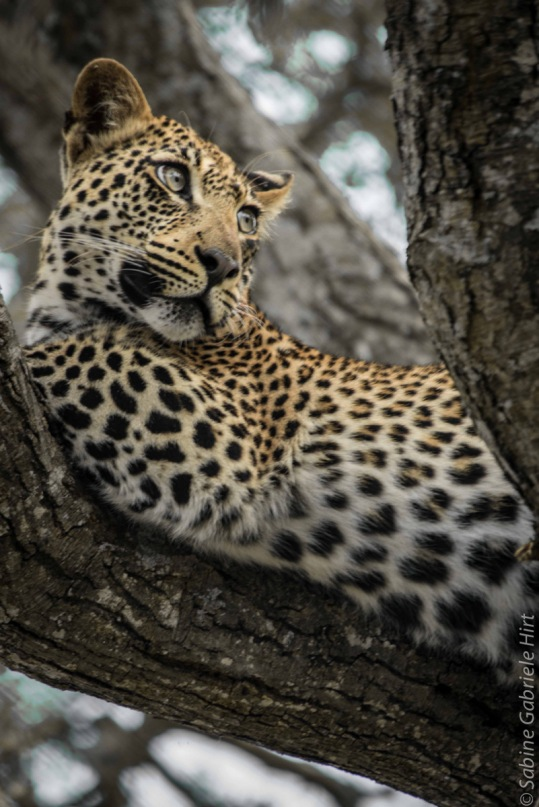 leopard (22 of 33)