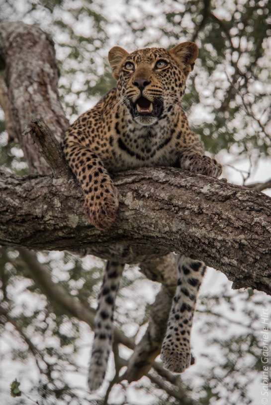 leopard (26 of 33)
