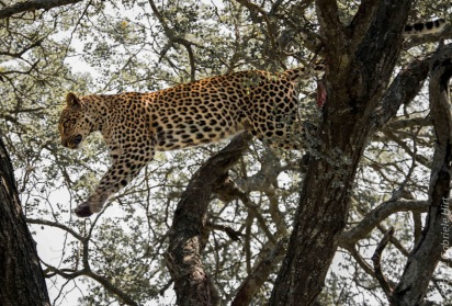 leopard (29 of 33)