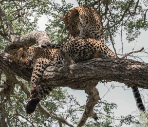 leopard (30 of 33)