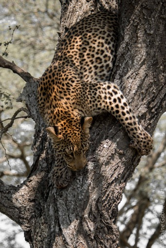 leopard (31 of 33)
