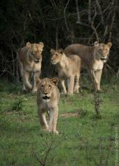 lion (1 of 25)