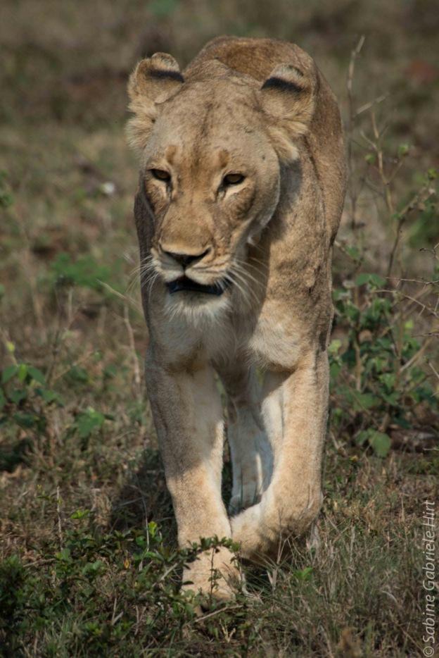 lion (10 of 25)