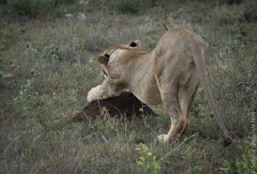 lion (12 of 25)