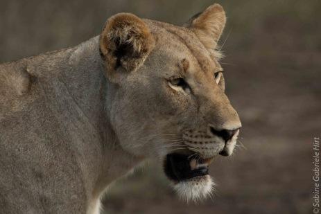 lion (14 of 25)