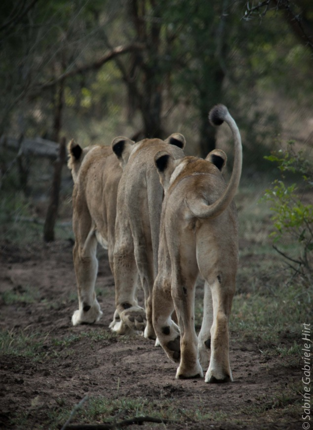 lion (16 of 25)