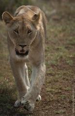 lion (17 of 25)