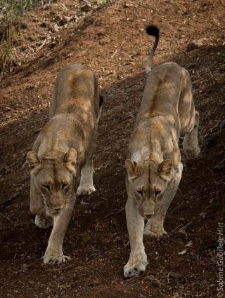 lion (18 of 25)