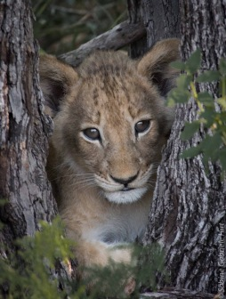 lion (23 of 25)