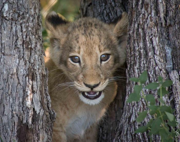 lion (24 of 25)