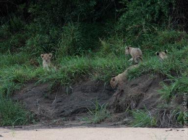 lion (25 of 25)