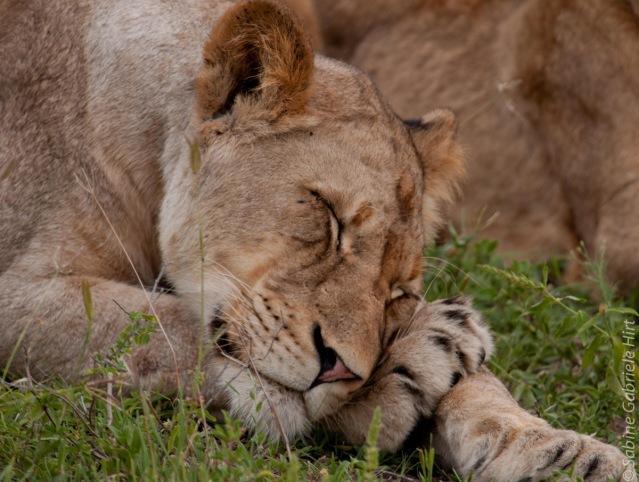 lion (26 of 29)
