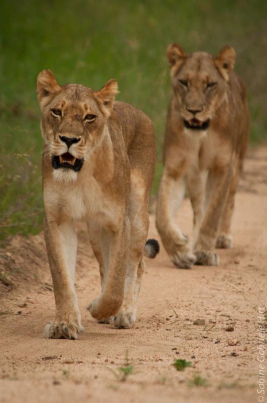 lion (28 of 29)