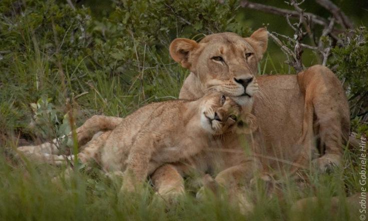 lion (29 of 29)