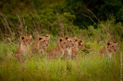 lion (31 of 29)