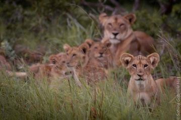 lion (32 of 29)