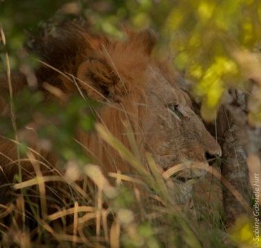 lion (33 of 29)