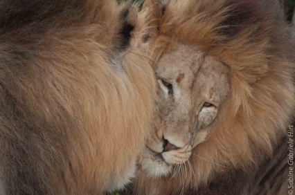 -> Just Lions