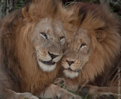 lion (37 of 29)